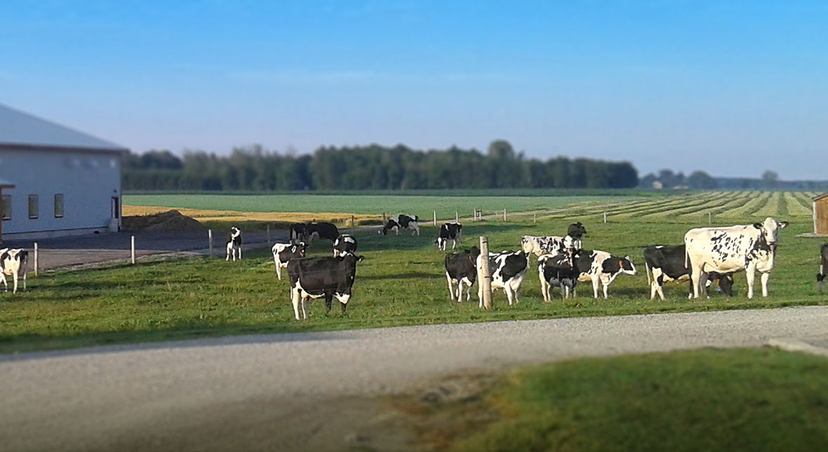 Holstein cattle on pasture.